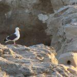 Sea Gull on Rocks