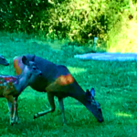Turkey Deer Lupin Lawn